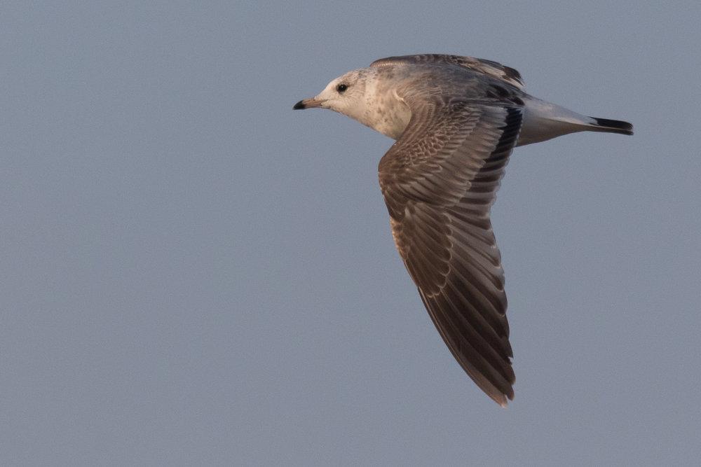 20170126-Common Gull 2CY-38.jpg