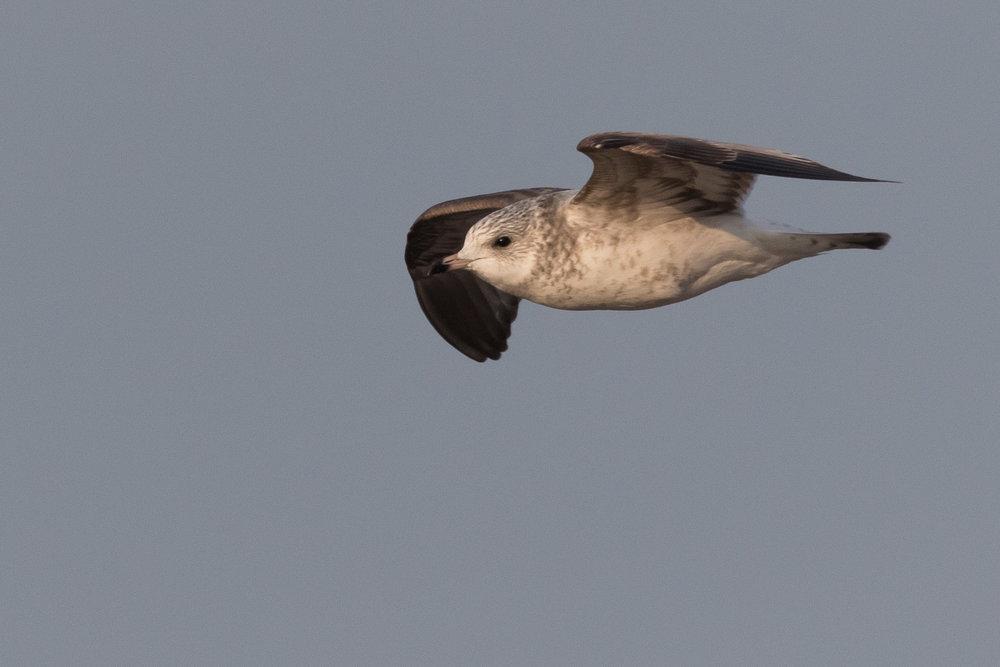 20170126-Common Gull 2CY-40.jpg
