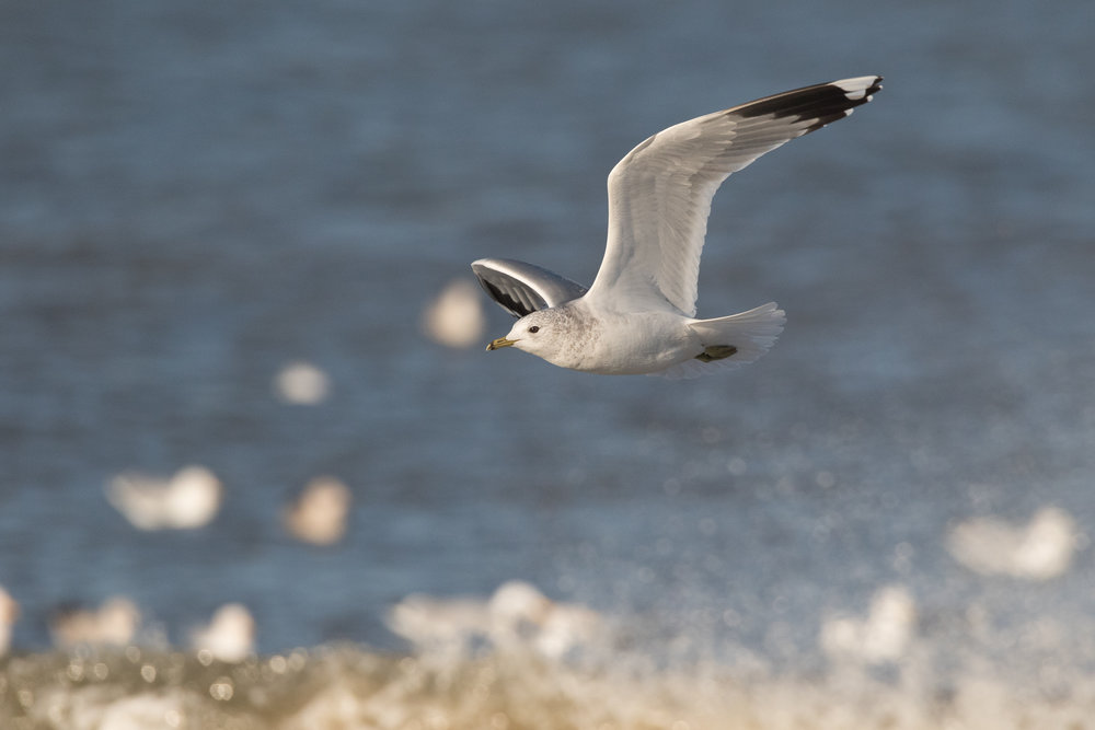 20170121-Common Gull Adult-160.jpg