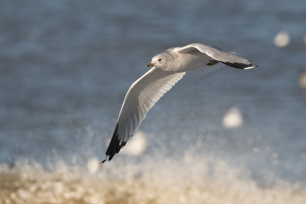 20170121-Common Gull Adult-159.jpg