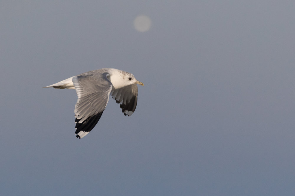 20170121-Common Gull Adult-161.jpg