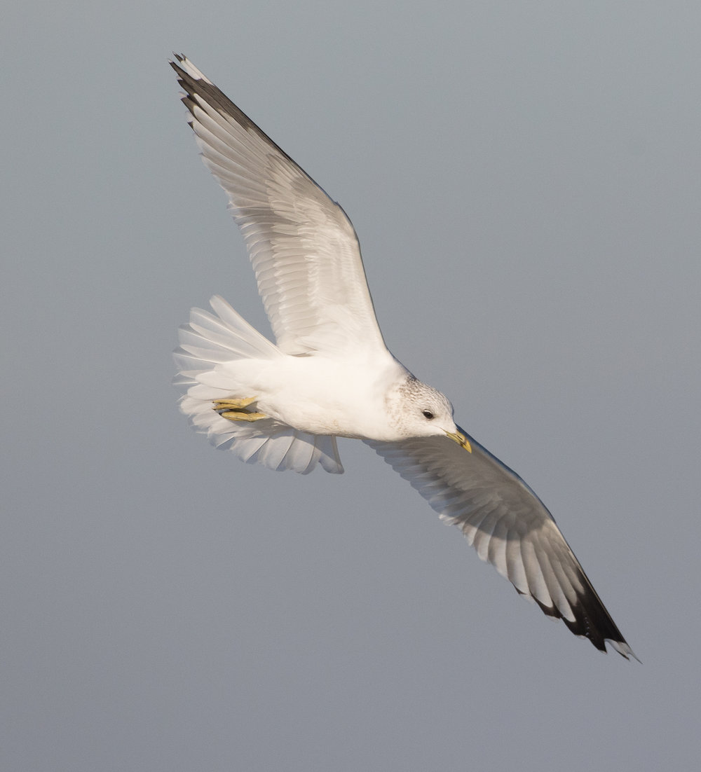 20170121-Common Gull Adult-168.jpg