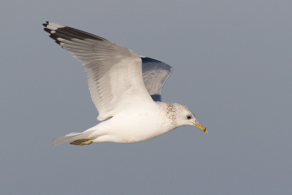 20170121-Common Gull Adult-166.jpg