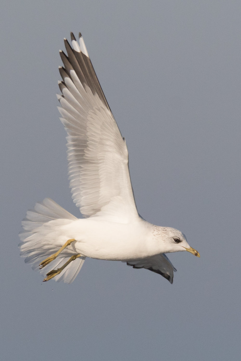20170121-Common Gull Adult-164.jpg