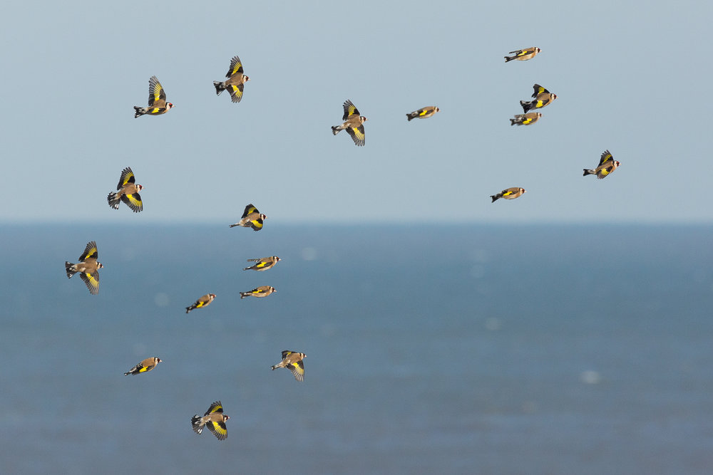 Goldfinches against an unusual backdrop