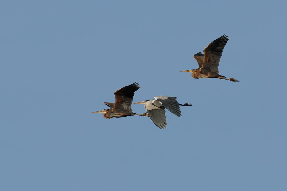 My first Purple Herons of the year.