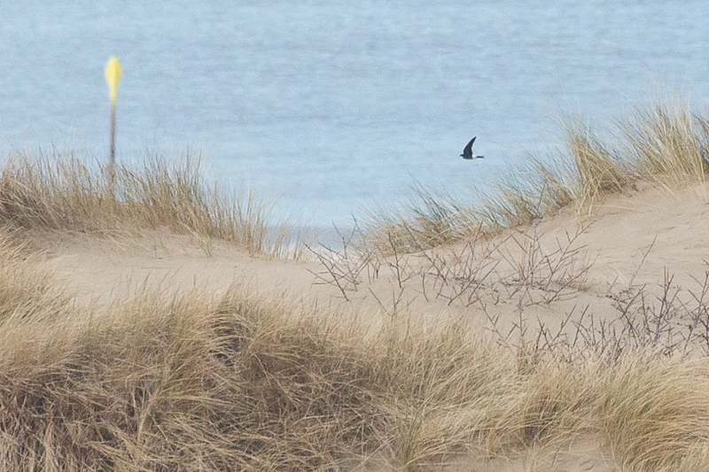 The Netherlands' first photographed House Martin of 2018.