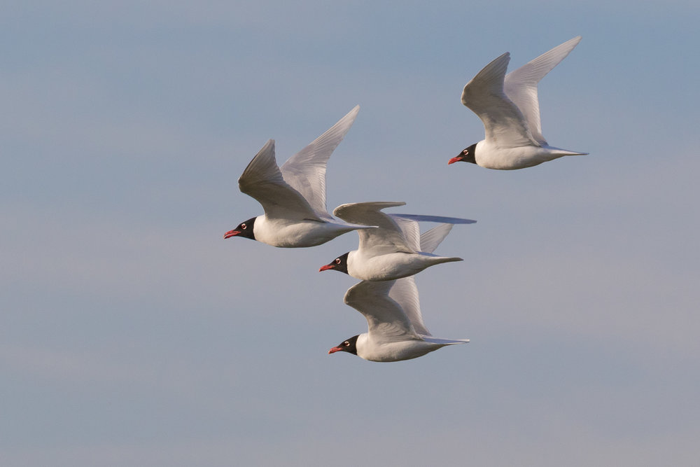 I wish I'd get to see more of these beautiful Mediterranean Gulls where I live. Truly fantastic birds! Maybe in the future this will be a more regular sight, as they are progressively colonizing more Northern parts of the country.