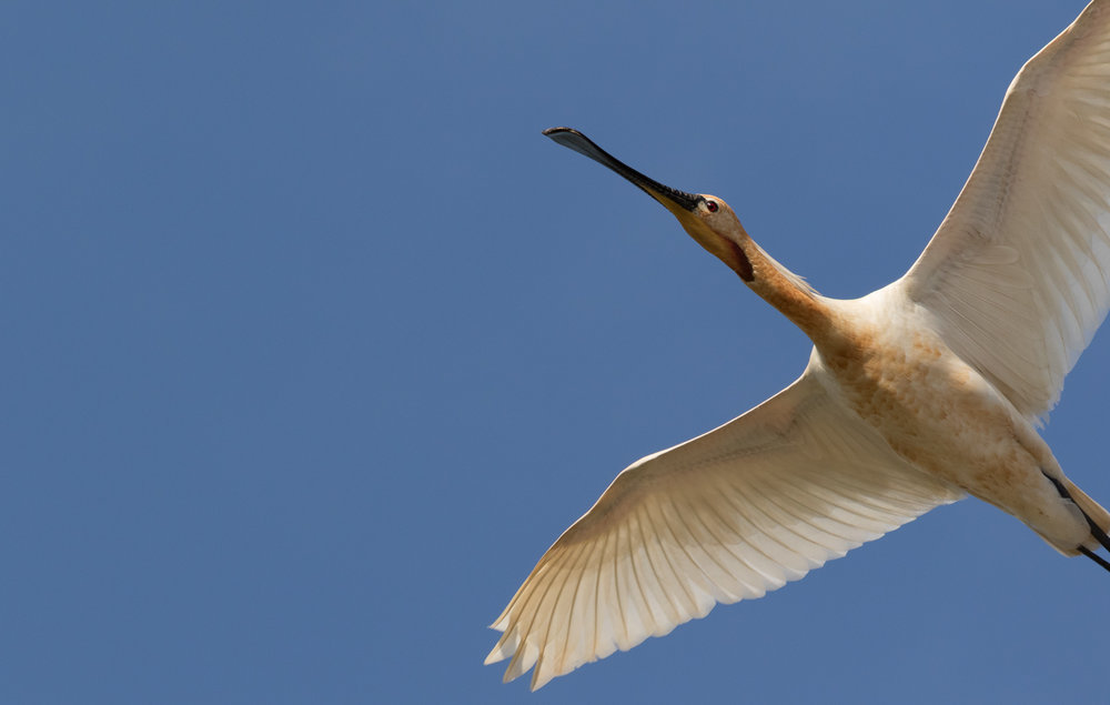 A Spoonbill that got a little too close and then got startled by the shutter-frenzy of all present photographers.