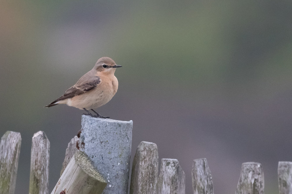 We see a decent number of Wheatears migrating past. Oddly enough they very often end up 'falling' from the sky and then perching very close to us. Clearly our small dune top seems to attract them, despite having flown hundreds or thousands of kilometers.