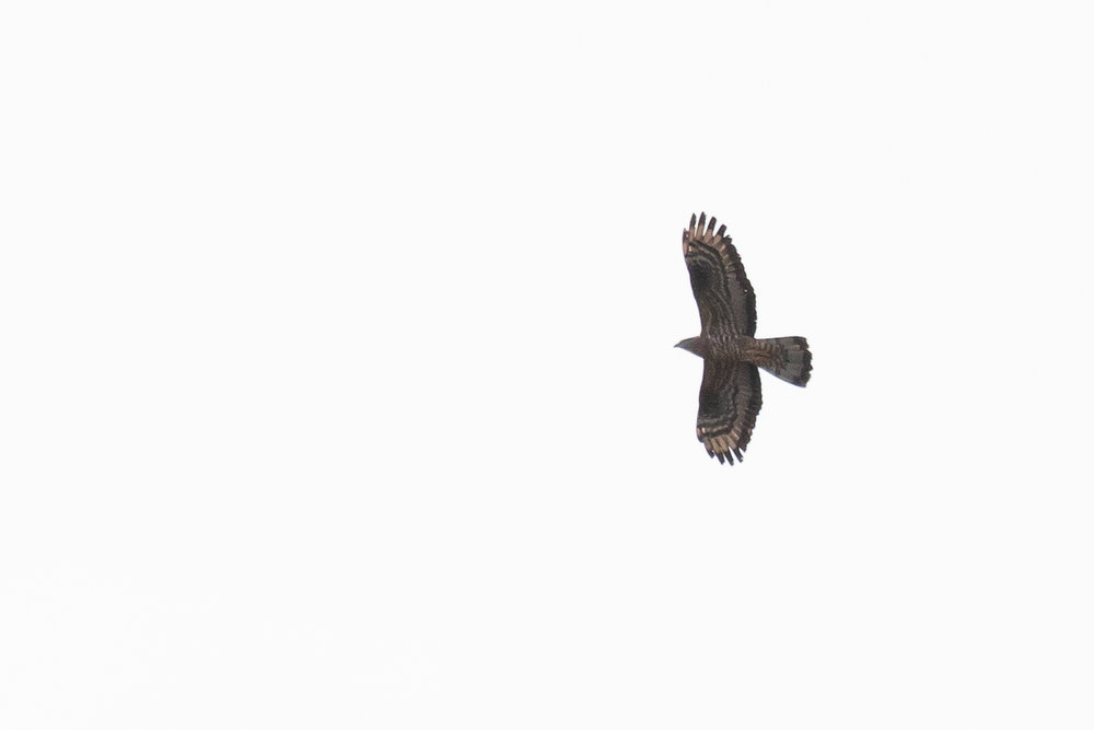 Adult male Honey Buzzard.