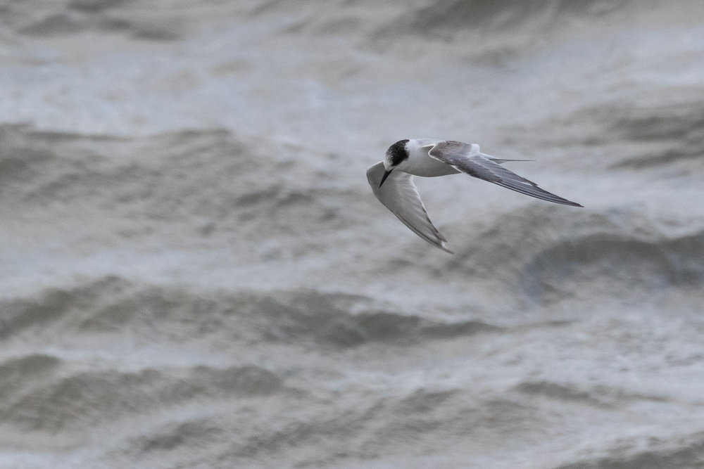 The 2cy Arctic Tern spent considerable time foraging in the harbour area, came quite close but in 8 Bft winds it is incredibly hard to use manual-focus and keep the camera steady, so the pictures are less than perfect.