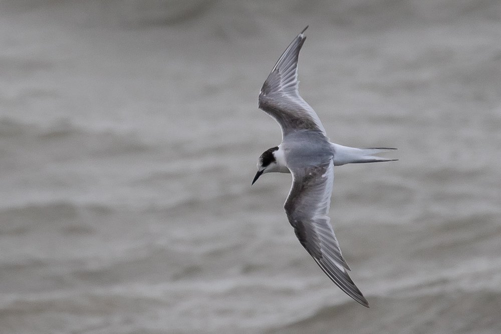 Although less than perfect, only 1 picture is necessary of this 2cy Arctic Tern to nail its identification.