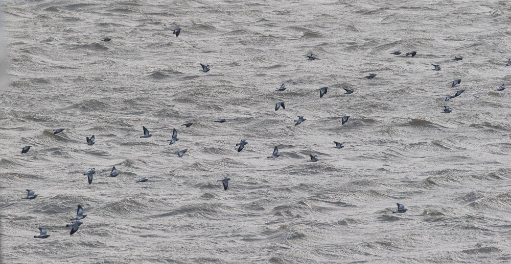 Large groups of Stock Dove, up to 160 birds were struggling against the winds along the leeward side of the sluices. Although we did not see where these birds were going to, we assume they roost somewhere in the vicinity.