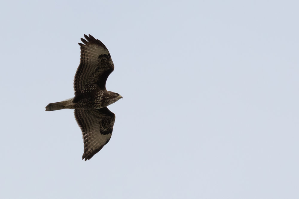 Juvenile Common Buzzard