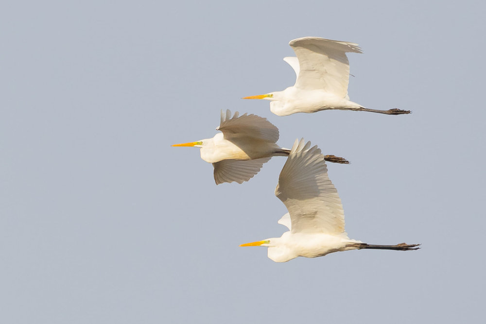It is remarkable how close to one another Great White Egrets can fly.
