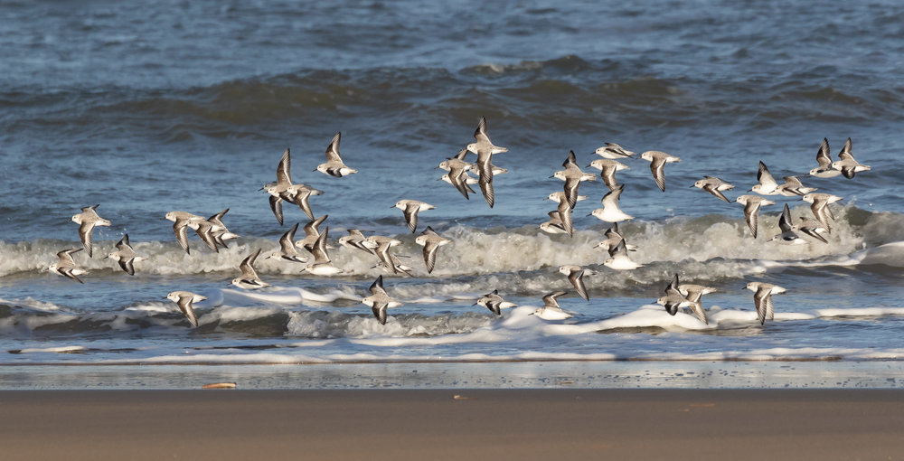 A nice flock of Sanderlings. (Ok, I admit, this photo was technically taken on the 30th of November, but I did not want to post a blog without a single photo.)