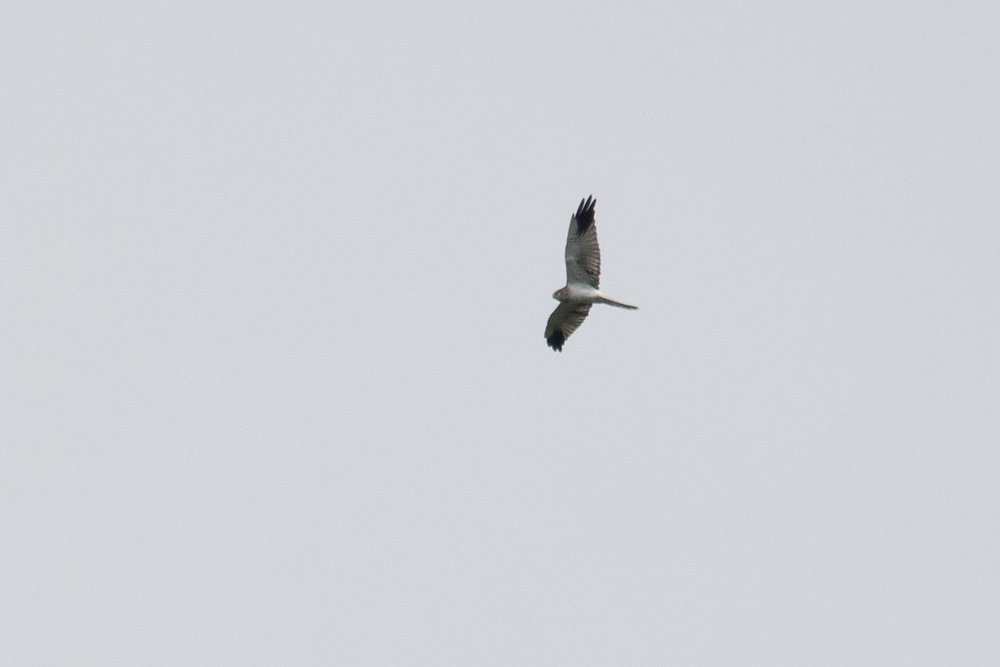 August 24th.  One of many immature male Pallid Harriers we observed this season. It has a retained juvenile secondary in the left wing and 2 in the right wing that still have to be moulted.
