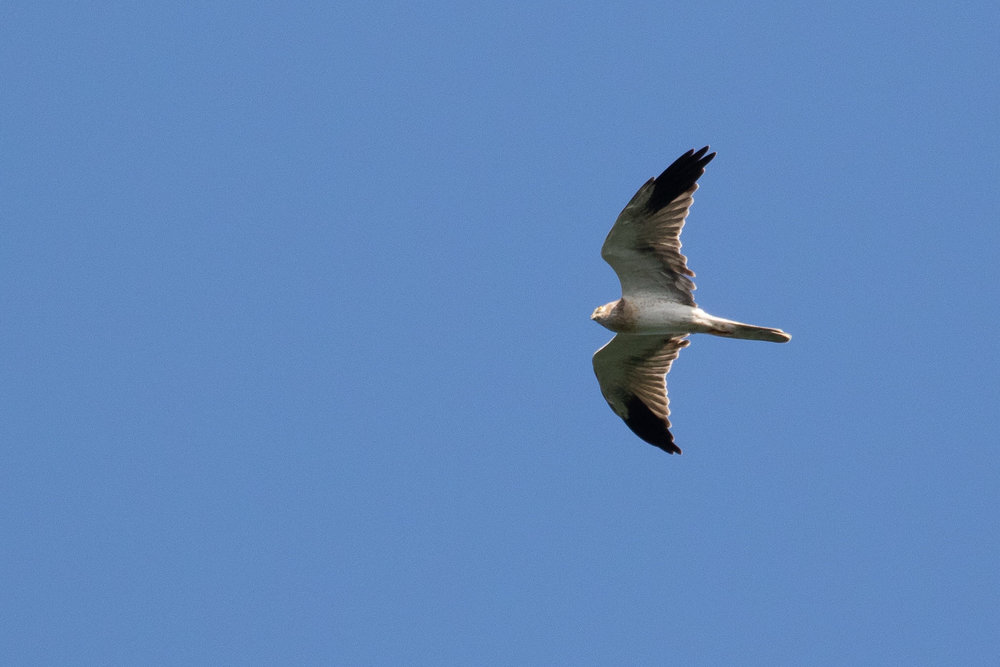 August 26th.  Another immature male Pallid Harrier that's still moulting some of its secondaries. It appears two secondaries are missing (one on both wings) and two secondaries (one on both wings) are still juvenile type.