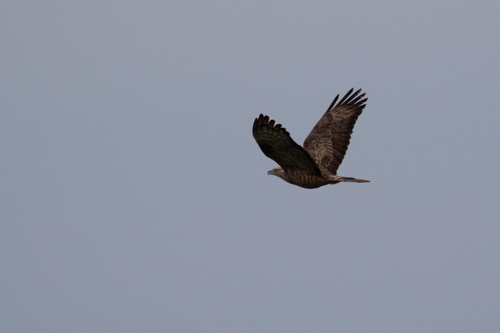 August 30th.  Adult female Honey Buzzard.