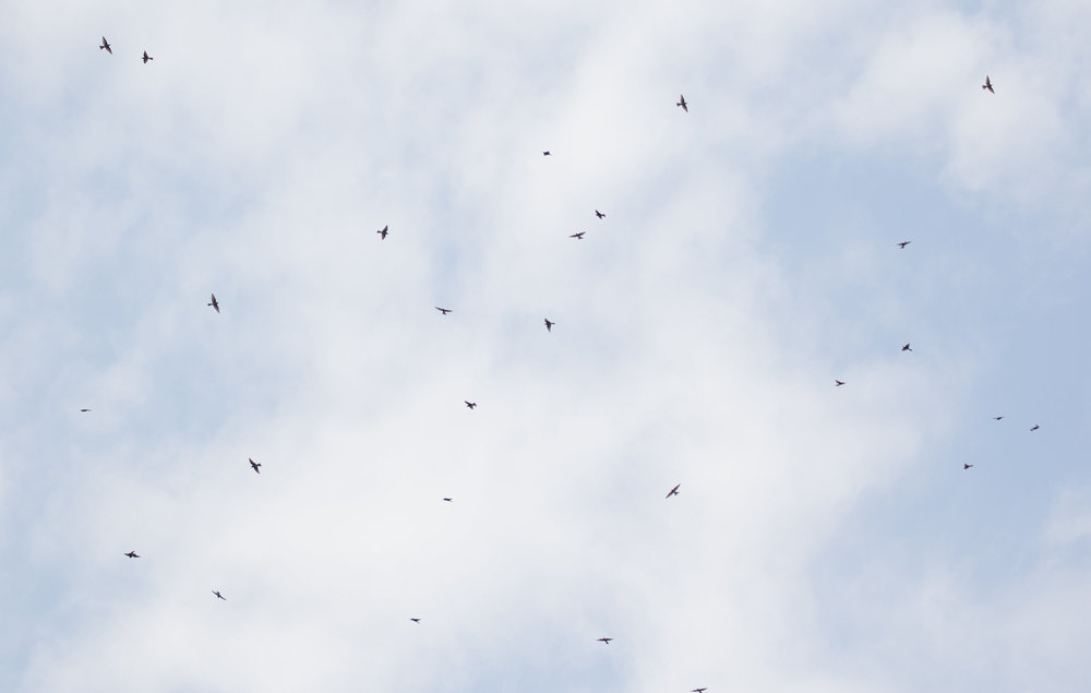 August 31st.  Attempt at photographing a flock of overhead Bee-eaters. During the first month of the count, Bee-eaters continuously provided the background vocals. Wonderful, wonderful birds…