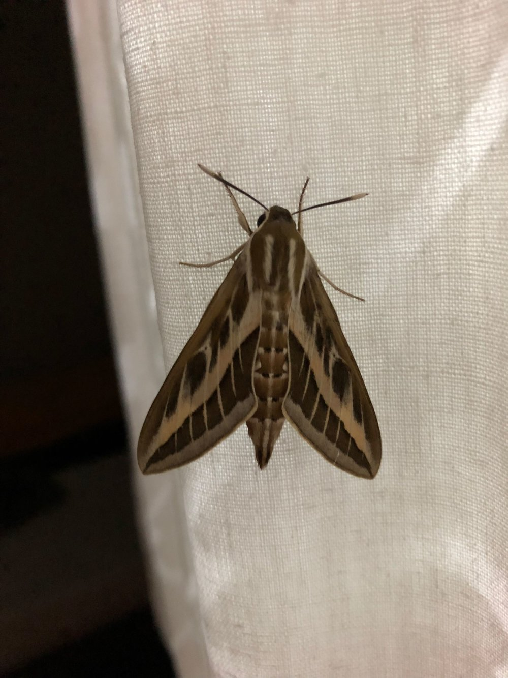 August 18th.  I'm not at all into Moths and Butterflies, but some are so obliging even I cannot escape from them. If I'm right this is a Striped Hawkmoth.