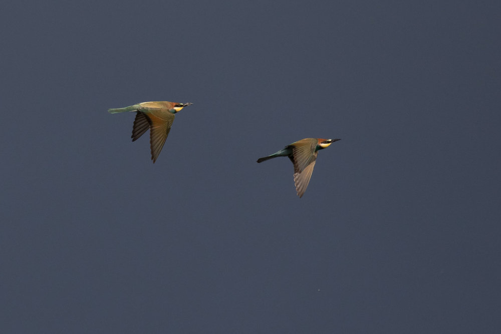 September 1st.  One fo the best parts about September: absolutely insane numbers of European Bee-eaters, totally uncountable, but easily enjoyed. Two different individuals in this photo, no photo compilation.