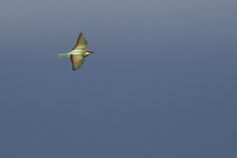 September 1st.  European Bee-eater