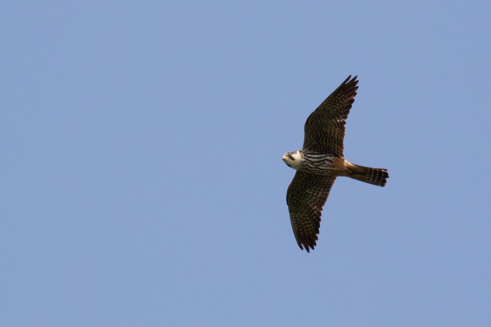 September 4th.  One of the many Eurasian Hobbies we see migrate through the bottleneck. We don't count them because it requires too much effort — which inevitably comes at the cost of count quality for other species — to identify and separate from other falcons. But, you can and will still be able to enjoy them on your visits.