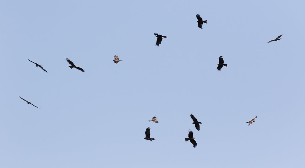September 6th.  Kettle of Black Kites.