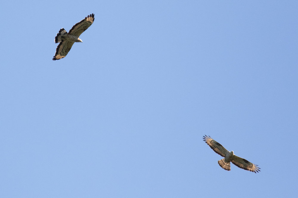 September 13th.  Same hybrid adult male Honey Buzzard (left) with a non-hybrid European Honey Buzzard.