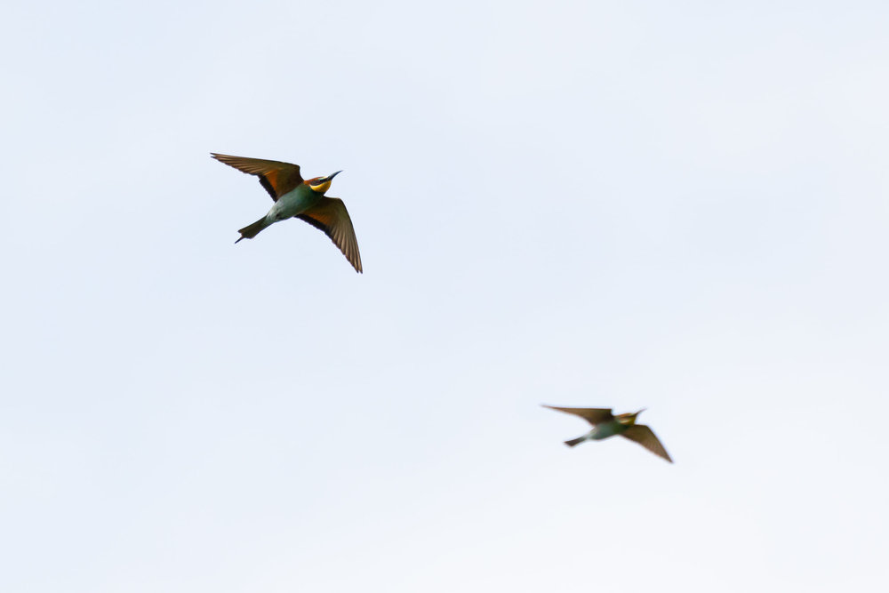 September 14th.  European Bee-eaters