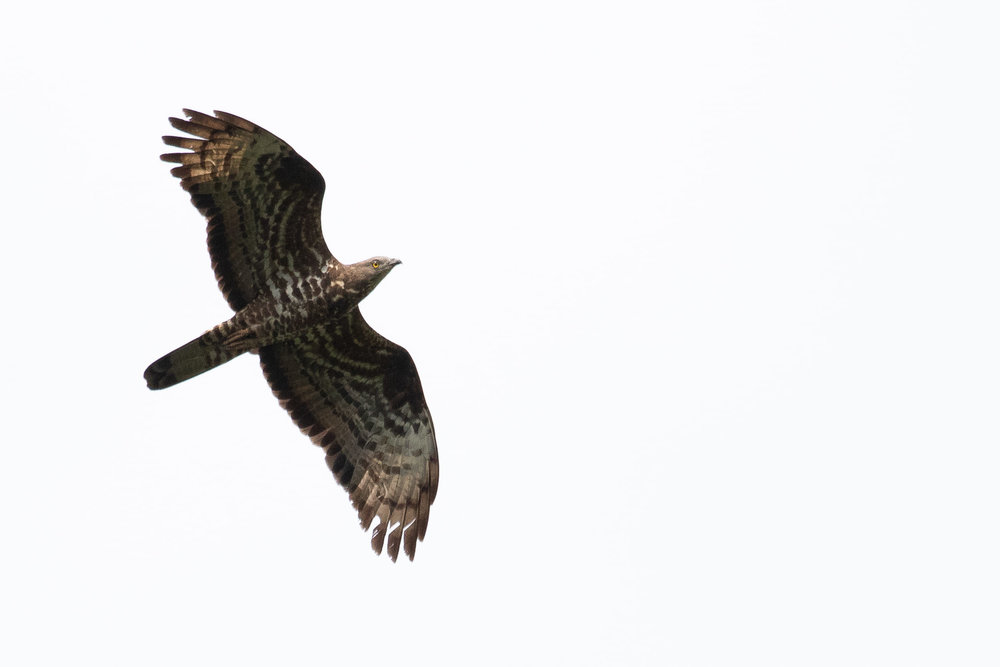 September 14th.  Honey Buzzard adult female.
