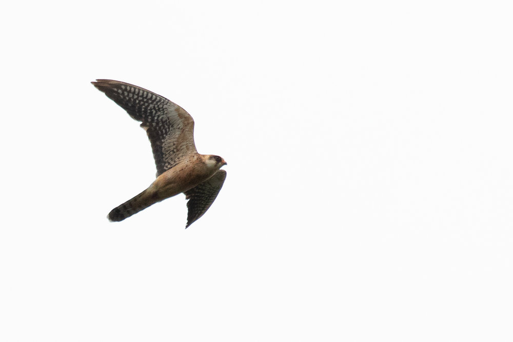 September 27th.  Immature (2cy) female Red-footed Falcon with outermost 2 primaries still juvenile type and barred greater coverts on the underwing.