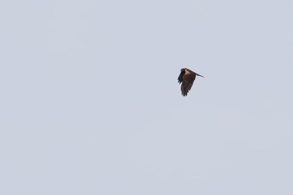 October 4th.  Quite dark adult female Marsh Harrier.