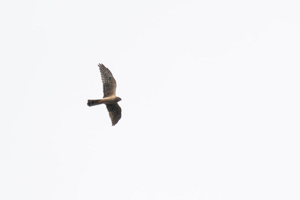 October 4th.  Adult female Pallid Harrier. An individual with very limited barring in the hand.