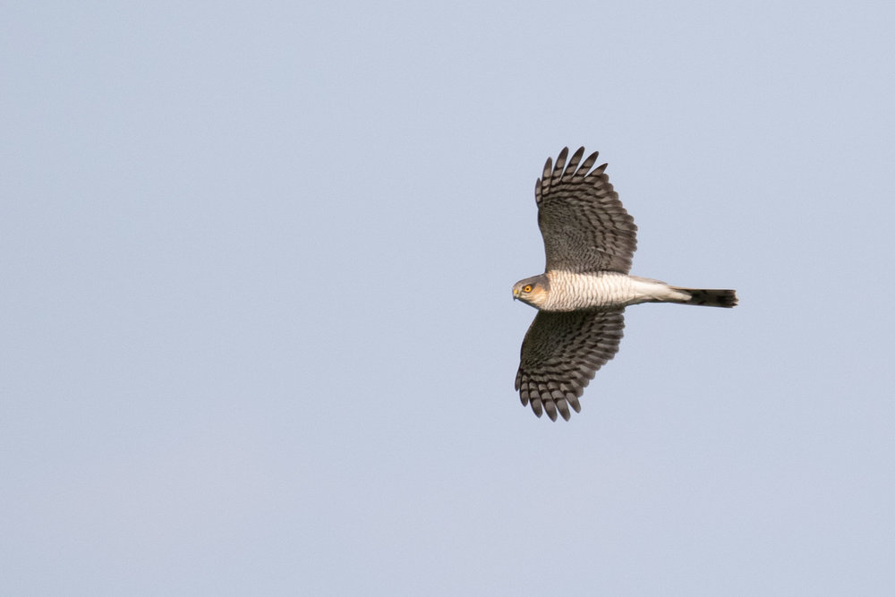 October 10th.  And an adult male Eurasian Sparrowhawk.
