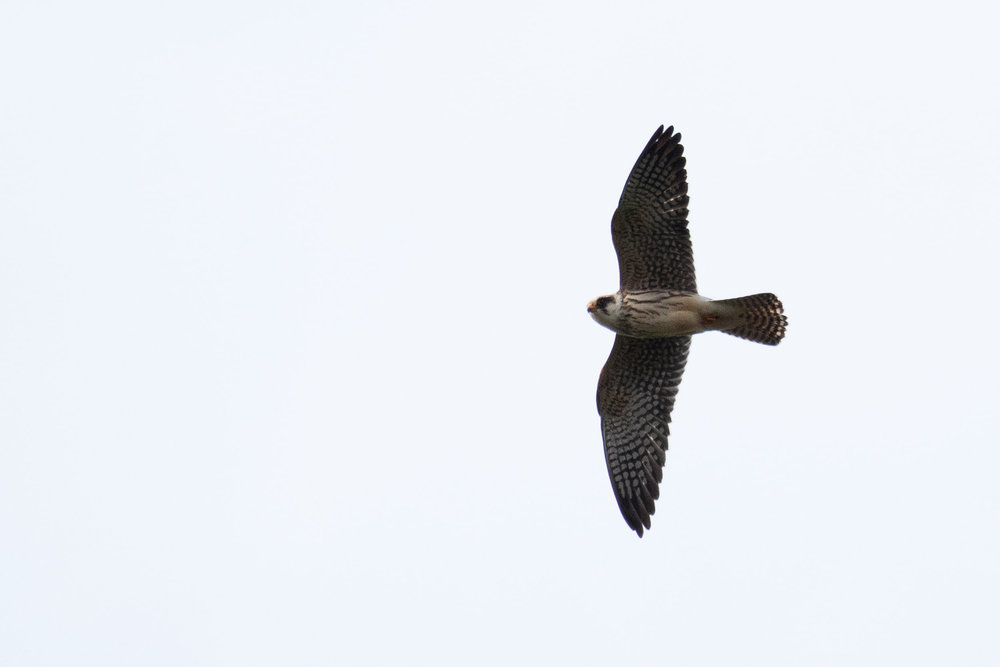 October 10th.  Juvenile Red-footed Falcon.