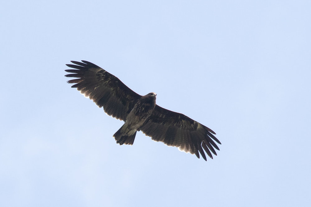 October 14th.  Immature Greater Spotted Eagle. Probably 3+ cy, because of two moult fronts visible in the primaries (see especially left wing)?