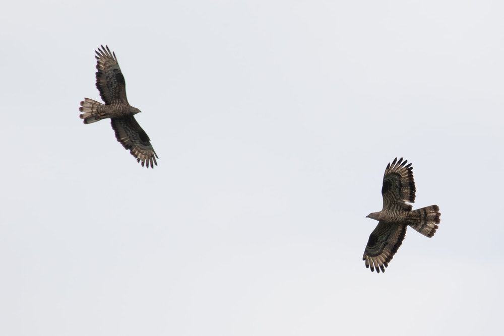 September 11th.  Two adult male Honey Buzzards, two entirely different moult strategies?