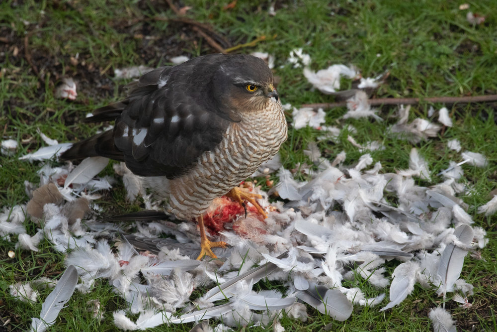 Adult male Eurasian Sparrowhawk.