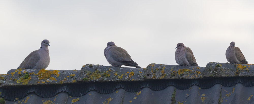 Eurasian Collared Doves.