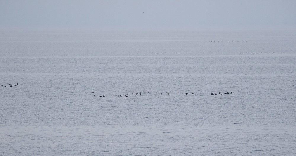 Mixed streams of Long-tailed Ducks and Common Scoters. They were all over the place: low, high, close, near, over land, over sea…