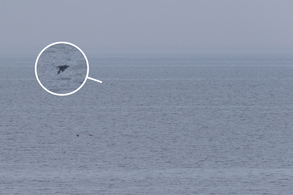 The 5th Great Skua for Estonia and we have the pixels to prove it.