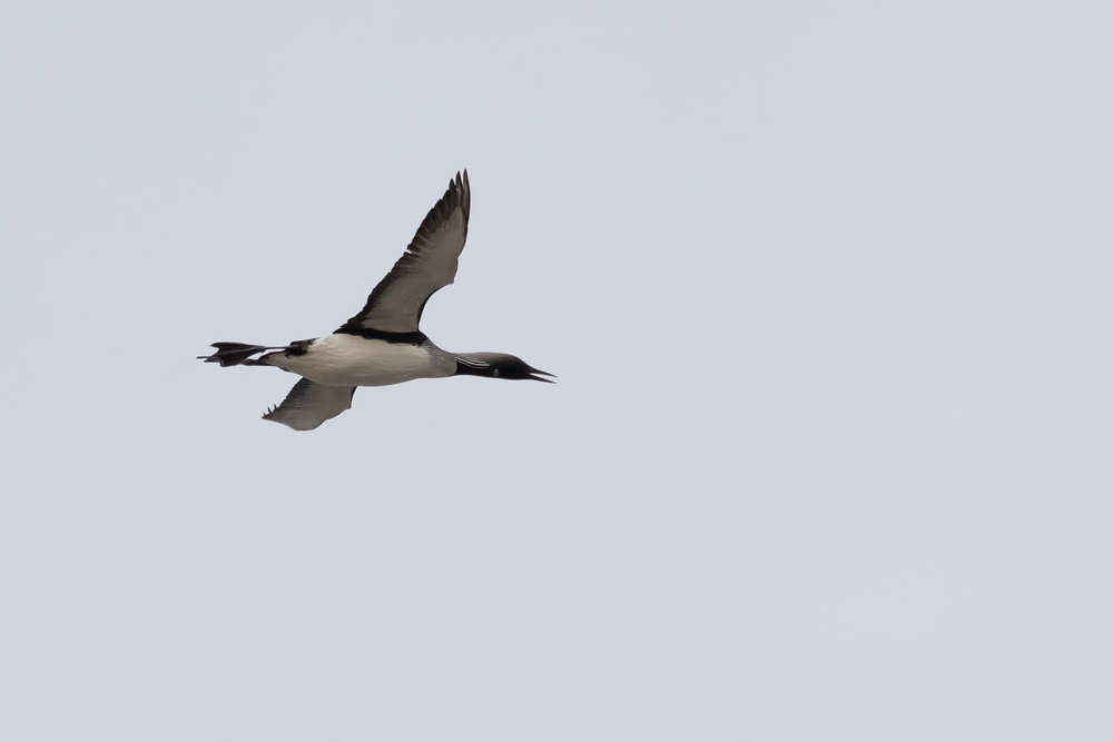 A close Black-throated Diver. For some reason many birds were flying with their bills somewhat opened up. Is that some form of thermoregulation for migratory flights?