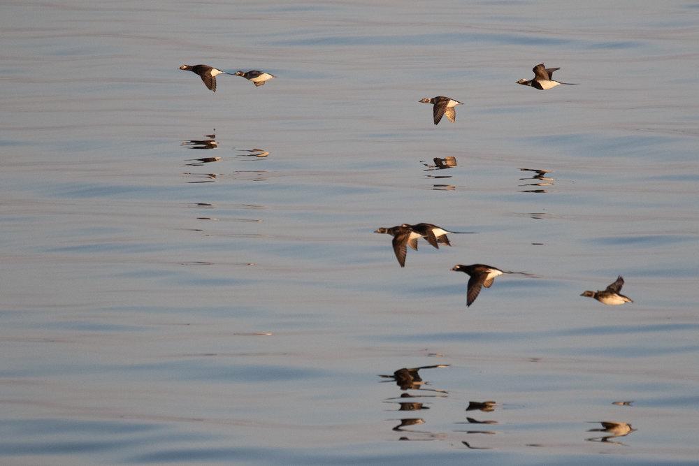Long-tailed Ducks.