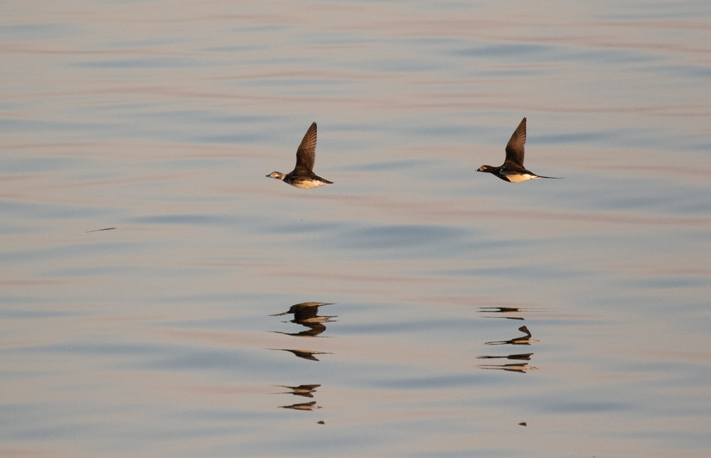 Long-tailed Ducks. Same birds as above.