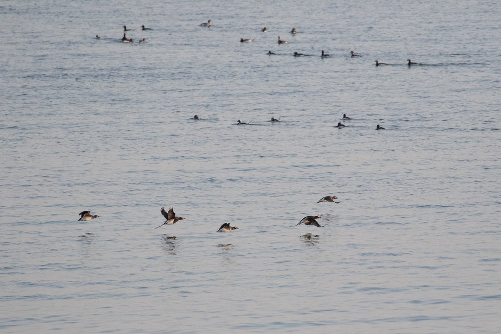 A flock of Long-tailed Ducks.