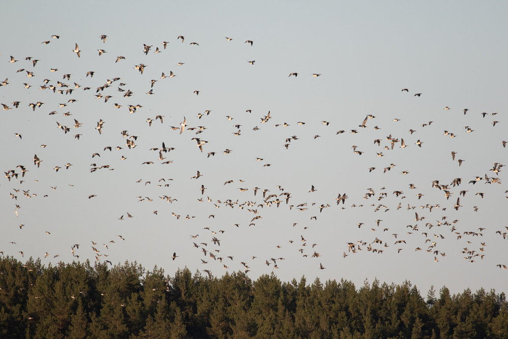 Some geese moving back to the bay after a short trip towards the surrounding agricultural fields.
