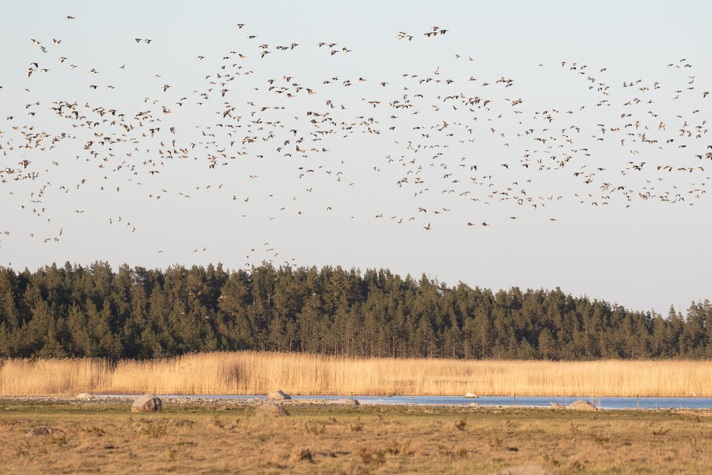 The same flock as in the previous photo.